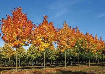 Acer platanoides Columnare Dila Herbstfärbung