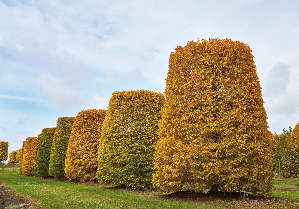 Carpinus betulus Kegelstumpf