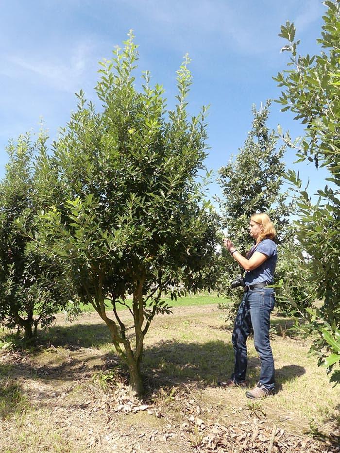 Quercus hispanica Fulhamensis