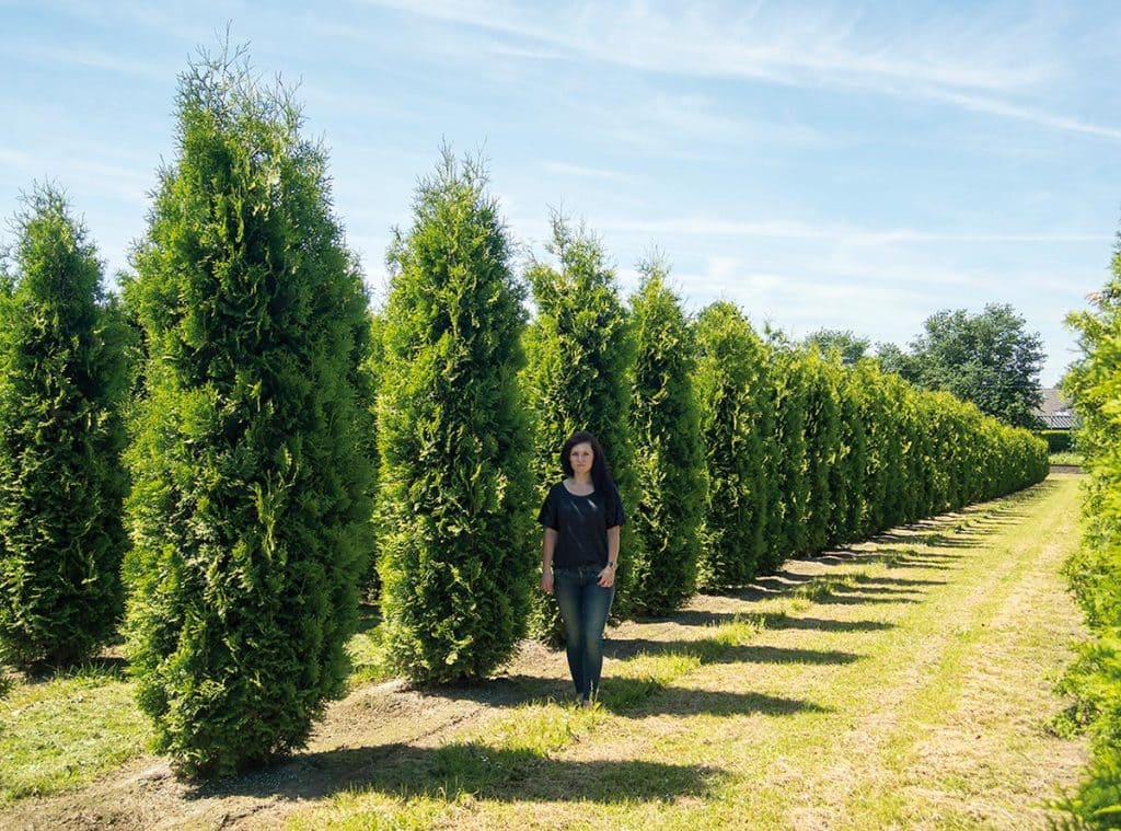 Thuja occidentalis Smaragd Säule Toskanaform