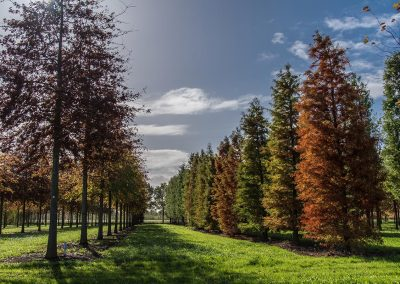 Taxodium distichum Herbstfärbung
