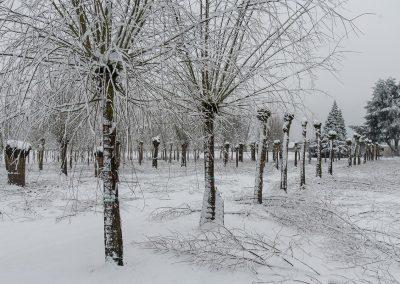 Salix alba Winterschnitt