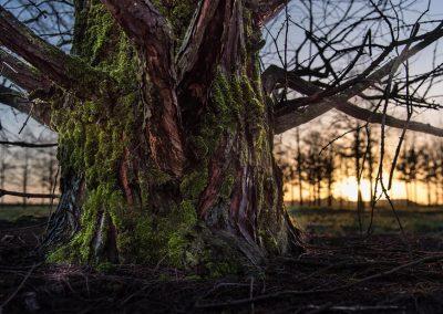 Metasequoia glyptostroboides Wurzelhals
