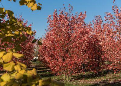 Acer freemanii Autumn Blaze Herbstfärbung