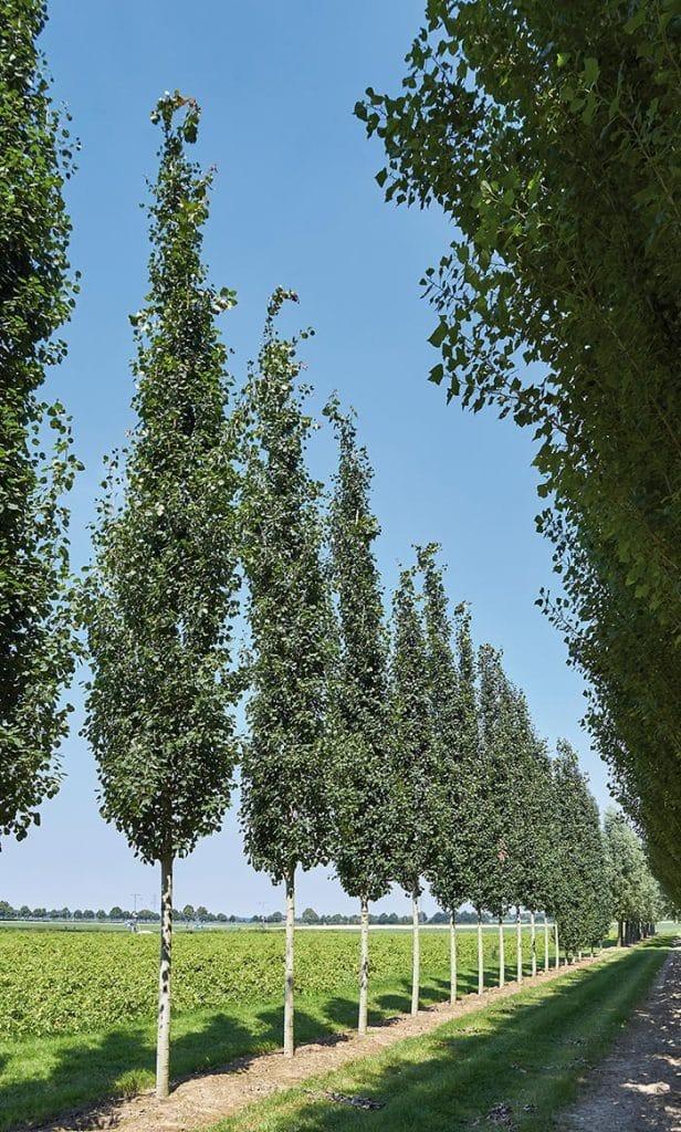 Populus tremula Erecta