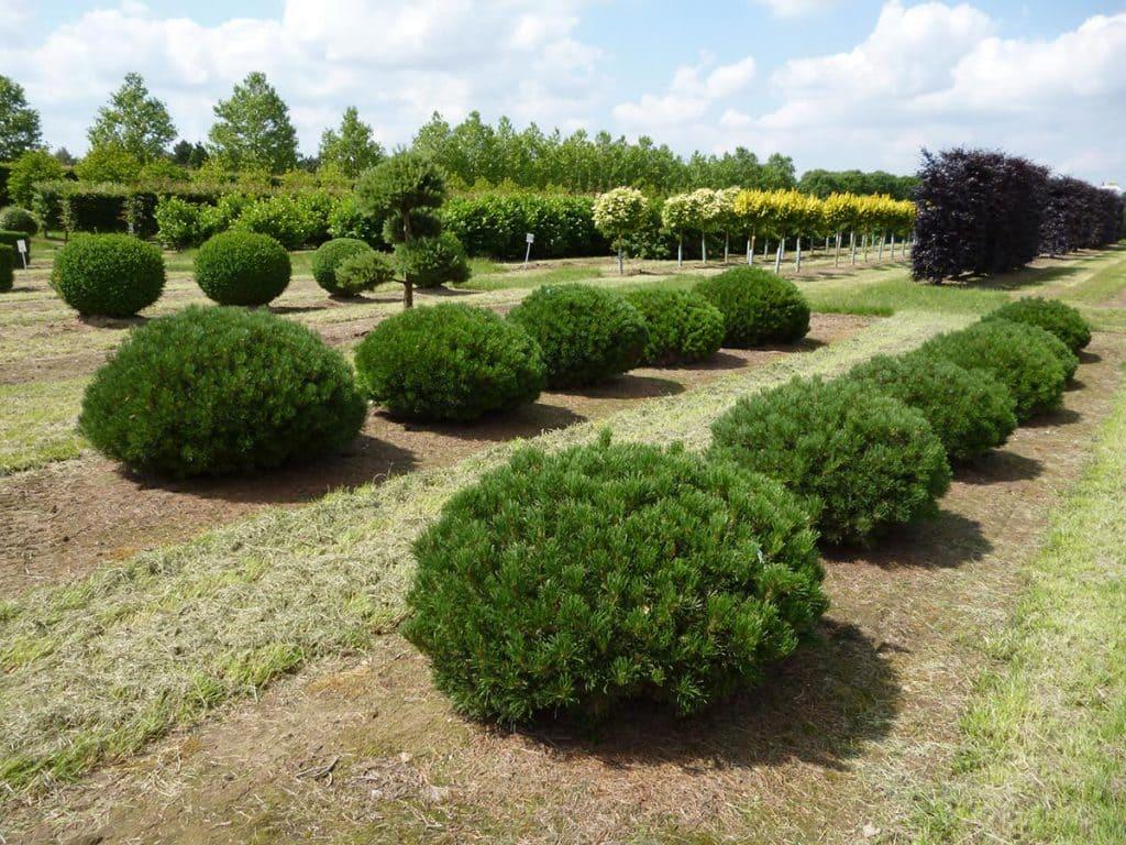 Pinus mugo mughus Sol Flachkugel